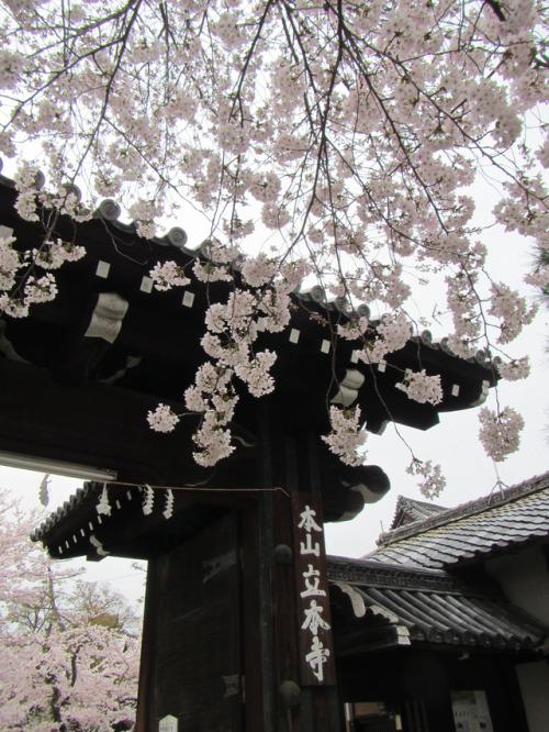 Kyoto, Japan. Sakura.
